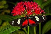 Doris longwing butterfly (Heliconius doris) on flowers