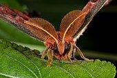 Atlas moth (Attacus atlas) on a leaf, Indonesia