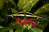 Thoas swallowtail butterfly (Papilio thoas) on flowers