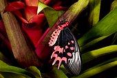 Bat wing butterfly (Atrophaneura semperi) on Bromeliad, Asie