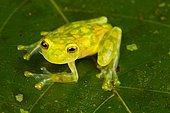 Reticulated glass frog (Hyalinobatrachium valerioi) on a leaf, Costa Rica