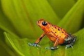 Strawberry poison frog (Oophaga pumilio) on a leaf, Panama