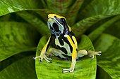 Dyeing poison frog (Dendrobates tictorius), on a leaf, Peru