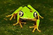 Lemur leaf frog (Agalychnis lemur) on a leaf, Costa Rica