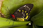 Common birdwing butterfly (Troides helena) on leaf, Asia