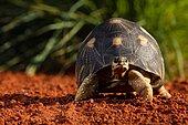 Radiated tortoise (Astrochelys radiata) walking, Madagascar,