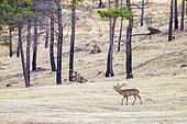 Red deer (Cervus elaphus), male in rut in a burnt forest area, Spain,