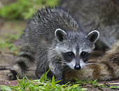 Racoon (Procyon lotor) young, Fort Myers, Florida, USA