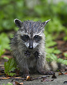 Racoon (Procyon lotor) young feeding in rain, Fort Myers, Florida, USA