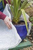 Emballer un pot dans du plastique à bulles. Les racines étant plus fragiles que les feuilles, le pot doit être protégé pour faire passer l'hiver à la plante dans de bonnes conditions.