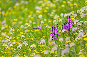 Alpine Flora, Col de la Cayolle, Ubaye Valley, Alpes Haute Provence, France, Europe