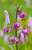 Martagon Lily (Lilium martagon), Col de la Cayolle, Ubaye Valley, Alpes Haute, Provence, France, Europe