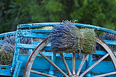 Harvesting, Lavender (lavandin) Fields, Valensole Plateau, Alpes Haute Provence, France, Europe