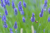 Lavender (lavandin) Fields, Valensole Plateau, Alpes Haute Provence, France, Europe