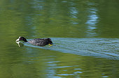 Eurasian coot (Fulica atra) on water, Provence, France