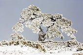 Pin recouvert de neige, Parc national de Guadarrama, Espagne