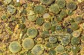 Nostoc pruniforme dans une flaque d'eau, Organisme très primitif vivant en colonies filamenteuses