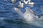 Gannet (Morus basanus) Gannet fishing, Shetland, Spring