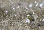 Golden plover (Pluvialis apricaria) Plover chick amongst grass, Shetland, Spring
