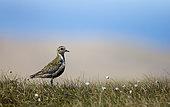 Golden plover (Pluvialis apricaria) Plover standing amongst cotton grass, Shetland, Spring