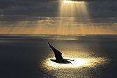Grand Labbe (Stercorarius skua) silhouette en vol au coucher du soleil, Shetland