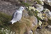 Kittiwake (Rissa tridactyla) Gull with nesting material, Hermaness, Spring, Shetland