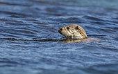 Otter (Lutra lutra) Otter swiming in the sea, Shetland, Summer