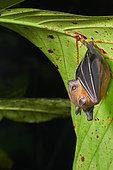 Lesser short-nosed fruit bat, megabat (Cynopterus brachyotis), Sarawak - Kubah national park, Malaysia