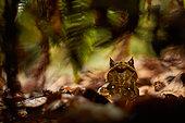 Long-nosed horned frog, Malayan horned frog , Malayan leaf frog (Megophrys nasuta) and leaves - Kubah national park - Sarawak - Borneo, Malaysia