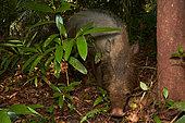 Bornean bearded pig, bearded pig (Sus barbatus), Bako national park - Sarawak - Borneo, Malaysia
