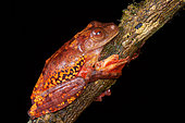 Harlequin tree frog , Halrequin Flying Frog (Rhacophorus pardalis Sarawak, Kubah national park, Borneo, Malaysia