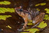 Smooth Guardian Frog (Limnonectes palavanensis), (ex Rana palavanensis) male care, transporting tadpoles, Sarawak, Kubah national park, Borneo, Malaysia