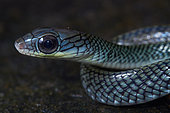 Portrait of White-bellied Rat Snake , Brown Rat Snake (Ptyas fusca), Kubah national park, Sarawak, Borneo, Malaysia