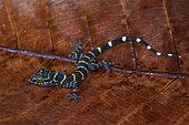 Peters' Forest Gecko (Cyrtodactylus consobrinus), on leaf, Kubah national park, Sarawak, Borneo, Malaysia