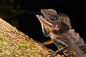 Portrait of Giant forest dragon (Gonocephalus grandis), Kubah national park, Sarawak, Borneo, Mlalaysia