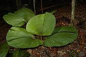 Parasol Palm (Licuala orbicularis) kubah national park, Sarawak, Malaysia