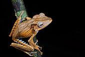 File-eared Tree Frog, Borneo eared frog or bony-headed flying frog (Polypedates otilophus), Kubah national park, Sarawak, Malaysia