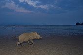 Bornean bearded pig (Sus barbatus) on the beach, Bako national park, Sarawak, Borneo, Malaysia