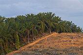 Plantation de Palmiers à huile (Elaeis guineensis) et déforestation, Bornéo, Malaisie