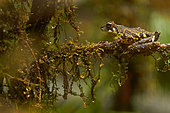 Mossy Bush Frog (Philautus macroscelis) on a branch, Mount Kinabalu, Sabah, Borneo, Malaysia
