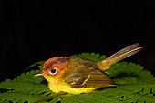 Yellow-breasted Warbler (Seicercus montis) on fern, Danum valley, Sabah, Borneo, Malaysia