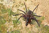 Huntsman spider (Heteropoda sp) eating an Aant, Danum valley, Sabah, Borneo, Malaysia