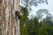Atlas beetle (Chalcosoma atlas) wide angle to the forest landscape, Danum valley, Sabah, Borneo, Malaysia