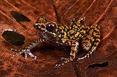 Spotted stream frog (Hylarana picturata) on a leaf, Sarawak, Kubah national park, Borneo, Malaysia