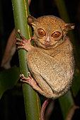 Horsfield's tarsier or western tarsier (Tarsius bancanus ex Cephalopachus bancanus borneanus) with an bornean Leech, Danum-valley, Sabah, Borneo, Malaysia
