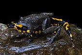 Accopuplement de Grenouille rousse (Rana temporaria) et de Salamandre tachetée (Salamandra salamandra) sur fond noir, Die, Dauphiné, France
