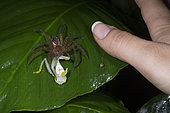 Wandering spider devouring a Fleischmann's Glass Frog and woman thumb in Guatemala