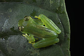 Emerald Glass Frog female in Omar Torrijos N.P. - Panama
