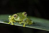 Emerald Glass Frog male portrait in Omar Torrijos N.P. - Panama