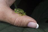 Emerald Glass Frog on a woman thumb in Omar Torrijos N.P. - Panama